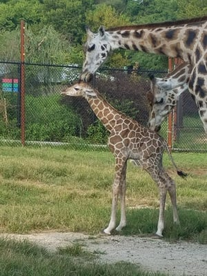 Adult giraffes at Dickerson Park Zoo surround a giraffe calf born Monday, August 7, 2017. The as-yet-unnamed calf weighs 150 pounds and stands more than 6 feet tall.