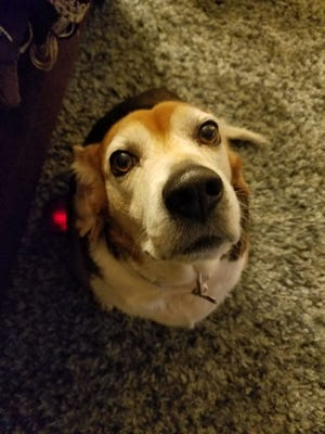 Mable is an 8-year-old basset hound/beagle mix up for adoption at Nashville Humane Association.