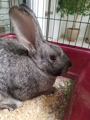Hercules came into the shelter as a stray. He's a sweet, adult male American rabbit who loves his veggies and attention, and doesn't mind being held. If you're interested, please talk to a staff member about rabbit care and we'll see if Hercules is the one for you!