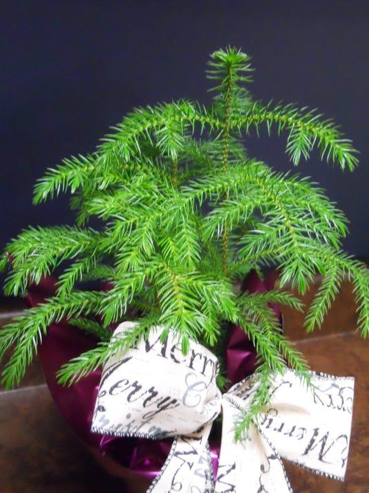 Norfolk Island Pine a cool houseplant on