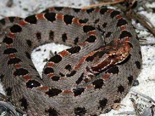 636286546350645355-Pygmy-snake-2.jpg