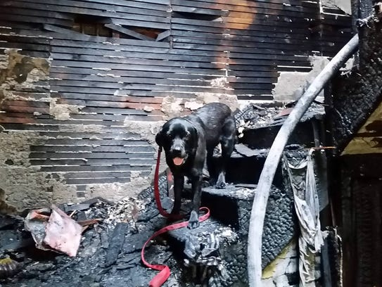 Daisy the arson-detection dog working the scene of