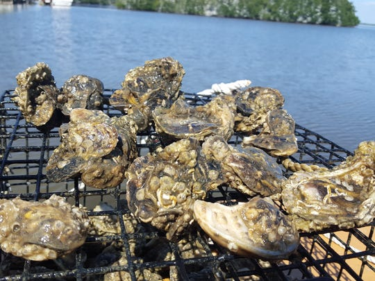 These oysters, pictured at a site in Cocoa Beach this past March, have been holding their own during an algae bloom and fish kill.