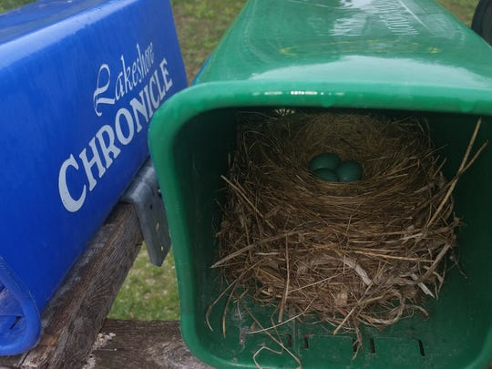 Robins have been known to nest in the most unlikely places. Mike Zelinski of the Larrabee area told me of a robin that nested in one of his paper boxes. Mike claims the robin did choose the correct box for his nest, as it still allows him to receive his Lakeshore Chronicle.