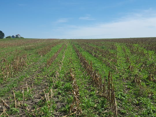 When both cereal rye and corn were harvested in a given year, the total forage yield was higher than if only the corn was grown, according to a six-year study at the University of Wisconsin.
