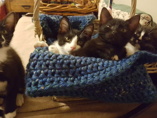 Four kittens found inside a plastic trash bag on the side of the road in Mauldin now being fostered by Feline Lifeline volunteers and awaiting adoption.