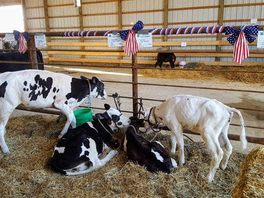 The Tilderquist family's calves rest in their exhibit