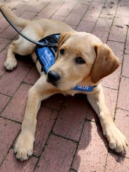 JP, a puppy Labrador, for BluePath Service Dogs.