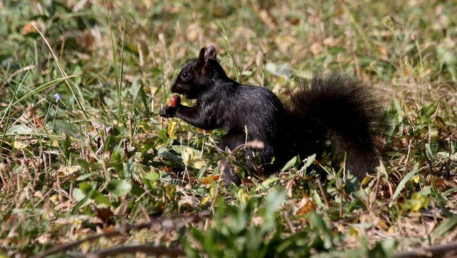 Black squirrels squirrel away food on a fall day in Detroit on Friday, Oct. 23, 2015.