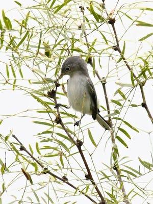 Blue-gray gnatcatcher look much like a miniature mockingbird.