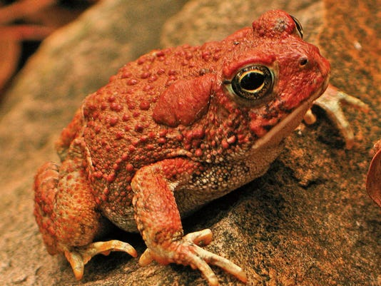 An Arizona toad, one of the species found in New Mexico, is seen in this undated file photo. Jeff Servoss - Courtesy Photo