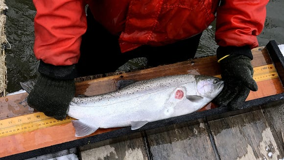 A spawning rainbow trout bears the scar left behind