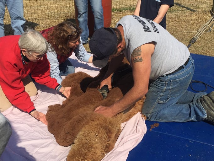 Shearing day at By the Bay Alpacas farm in Pungoteague,