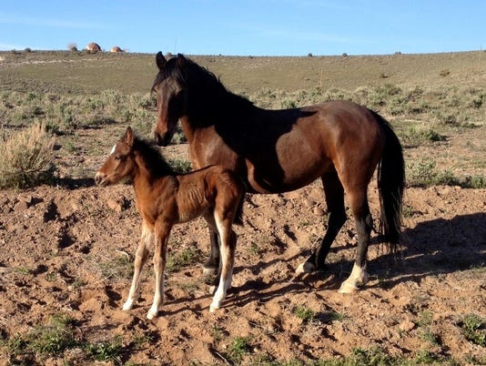 636355552152073607-wild-horses-Palomino-Valley.jpg