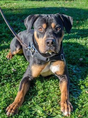 Ozzie, a 1-year-old Rottweiler mix, at the Willamette Humane Society.