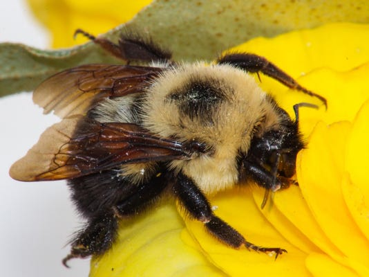 Detailed Macro Carpenter Bee on a Yellow Flower