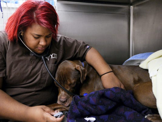 Kiairra Candelaria listens to the heart of Jack, a newly neutered pit bull.
