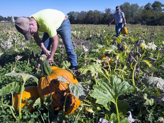 Kaleb Lange, left, and Brian Smyser, co-owner of Smysers Richlawn Farms, step up the pumpkin harvest at the Dover Township farm earlier this week. The farm has brought in 33 flatbed wagons of pumpkins this month and hopes to bring in another 10 this week before a possible frost or freeze over the weekend.