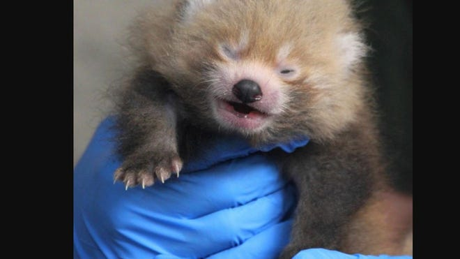 The red panda cub was born at Buttonwood Park Zoo in June. Now he needs a name. Be sure to vote by Sept. 1.
