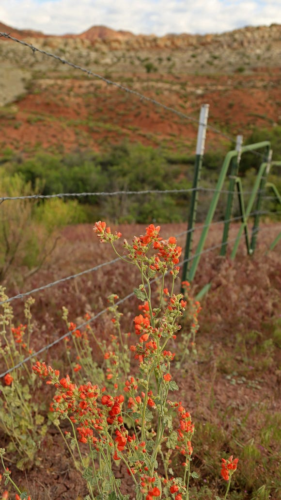 Globe Mallow grows along the Adit Trail in the Red Cliffs Recreation Area.