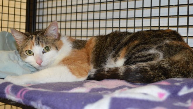 FILE PHOTO: Chloe, with her soft, silky calico coat, had to be given up by her loving family after three months of allergies.