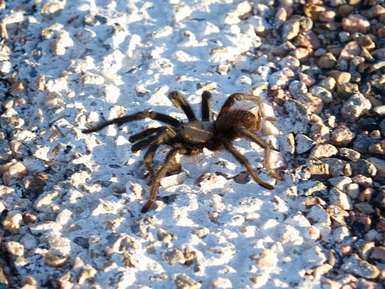 A male blonde tarantula crosses a road in southern Colorado while searching for a mate.