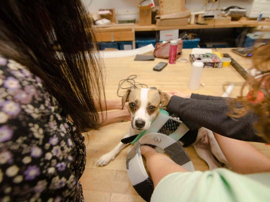Tika the dog being fitted for a prototype prosthetic that's being developed by UD students Sunday, Nov. 15, 2015 at Spencer Lab in Newark.
