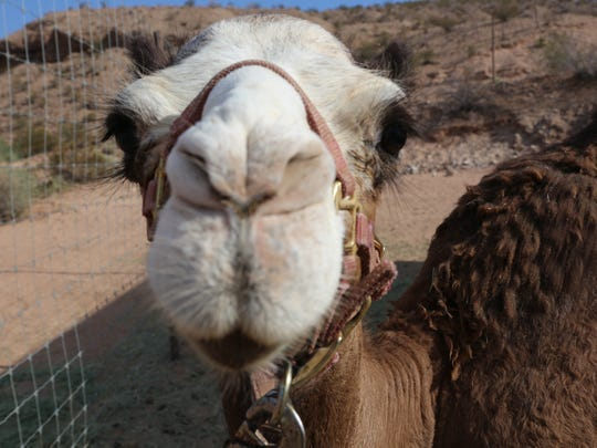 Who could resist that face? Camel Safari, off Interstate
