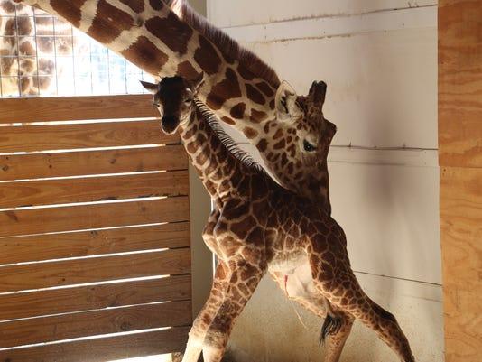 636279483654276991-April-s-Baby-walks.JPG