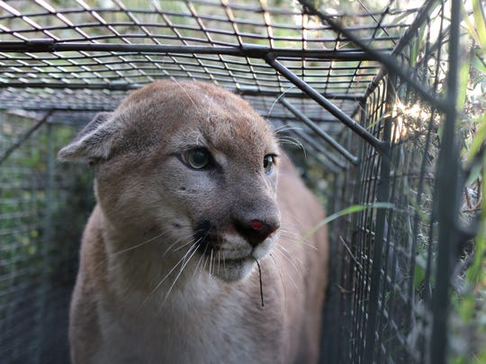 Researchers have recently started tracking P-55, a young, male mountain lion in the western Santa Monica Mountains.