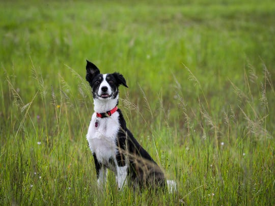Echo, a border collie, spends three to four days a