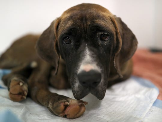 Emily, one of three Mastiff mix dogs who were rescued