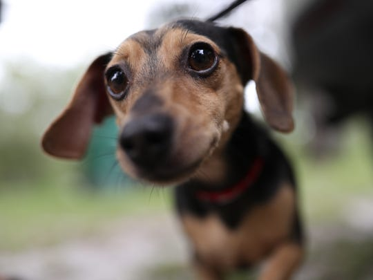 """""""Chewbarka"""", a 3-year-old chihuahua-dachshund mix stands outside his family's home where he alerted them to a fire early Tuesday morning, barkingin a panic. The family awoke to his cries in time to escape the building before it completely burned."""