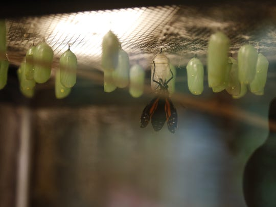 A monarch butterfly hatches out of its chrysalis.