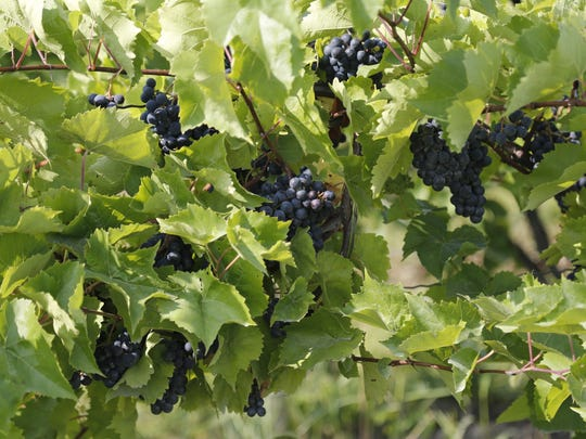Wine grapes at Thirsty Owl Wine Company.