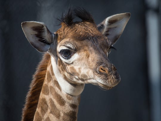 Binti, a female Masai giraffe at the Toledo Zoo, had to be euthanized this summer.