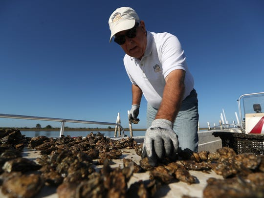 Rob Olin, oyster rancher and CEO of the Panacea Co-Op Corporation looks over some of his crop, harvested from the waters of the Forgotten Coast on Thursday, Nov. 2, 2107.