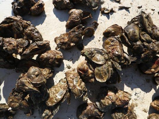 Panacea Pearls, the branded oysters from the Panacea Co-Op Corporation, are layed out on the bow of a boat.