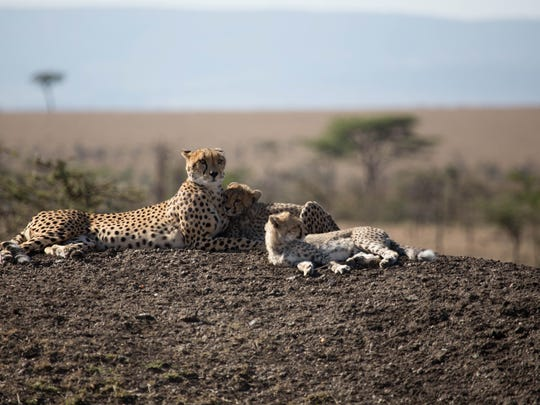 Naborr and cubs relax on a hill together.
