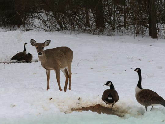 You can get a live goose for about $65.