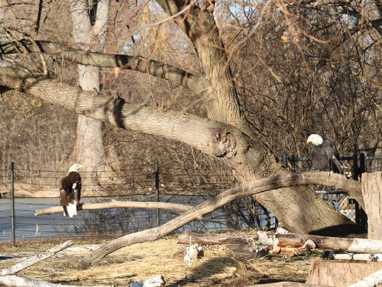 Mr. America the bald eagle, left, perches on a branch
