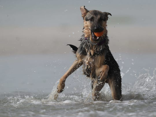 Nala the German Shepherd spent a foggy morning playing ball with her foster dad, Mike Hayes at Dog Beach near Lovers Key between Fort Myers Beach and Bonita Springs.