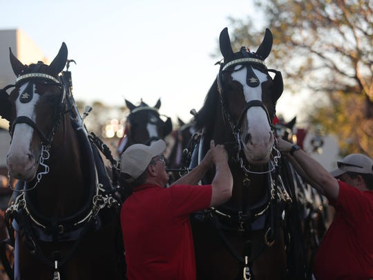 The Budweiser Clydesdales are prepared for the 2018 Edison Festival of Light Grand Parade on Saturday, Feb. 17, 2018, in Fort Myers.