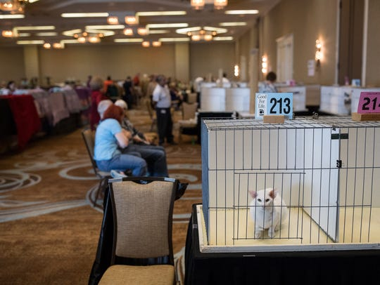 A cat sits in a cage as it waits to be judged during