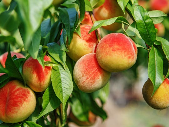 Don't miss Jersey peaches, fresh off the tree.