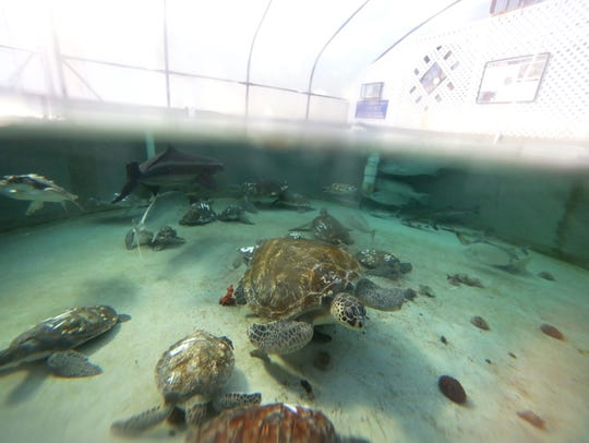 Sea turtles swim in the tanks at the Gulf Specimen