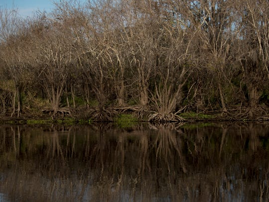 A high water mark can be seen on foliage on the Kissimmee River just above the restored area.