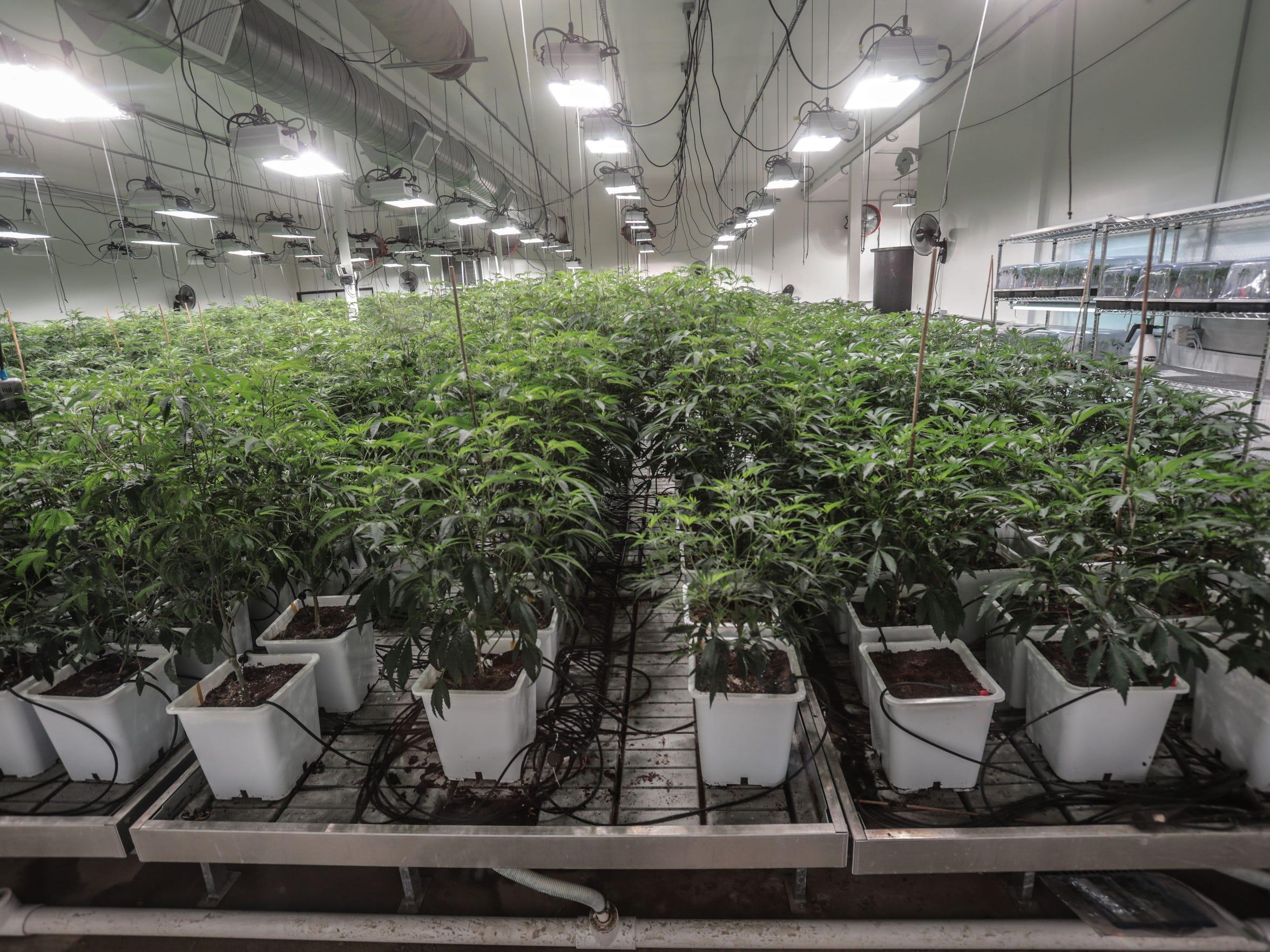 Cannabis is a grow house in Coachella on Tuesday, April 3, 2018.