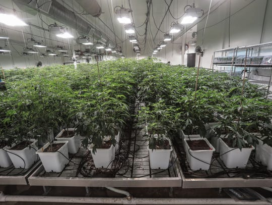 Cannabis plants can be seen in a cultivation facility in Coachella.