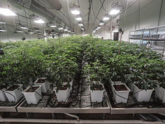 Cannabis is a grow house in Coachella on Tuesday, April